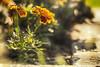 Marigold (flashfix) Tags: june112017 2017inphotos ottawa ontario canada canon canoneos5dmarkii 5dmarkii bokeh nature mothernature 100mm macro flowers petals garden shine morning sunshine light sunlight marigold flashfix flashfixphotography