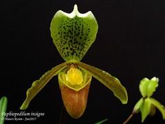 Paphiopedilum insigne (Mauro Rosim) Tags: orchid orquídea flower flor terrestrial terrestre slipper sapatinho