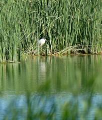Nachtreiher, black-crowned night heron (gerhard.mauracher) Tags: saucedilla extremadura spanien spain blackcrownednightheron