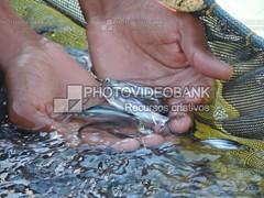 agronegocioalevinos-500x375 (PHOTOVIDEOBANK) Tags: alevinos peixes agronegócio criaçãodepeixes criadouro mãos river fish hands photovideobank