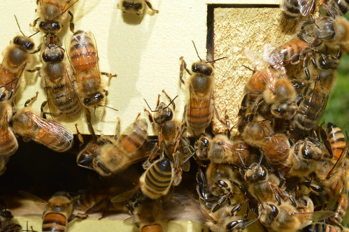 Honey bees at hive entrance by rachaelbonoan, on Flickr