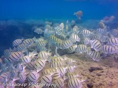 Hanauma Bay 9 (venusnep) Tags: hanaumabay hanauma bay underwater tropicalfish tropical fish iphone watershot watershotpro hawaii snorkeling travel travelphotography may 2018
