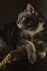 lily170615-003.jpg (Yvonne Rathbone) Tags: nikkor lily nikon cat profile repose challengegamewinner