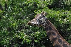 Giraffa camelopardalis camelopardalis - Girafe de Nubie - Nubian giraffe - 23/05/17 (Philippe_Boissel) Tags: giraffacamelopardaliscamelopardalis giraffacamelopardalis girafedenubie giraffidae captive artiodactyla girafe mammals mammifère 0476
