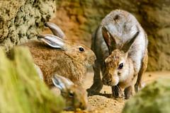 Japanese Hare : トウホクノウサギ (Dakiny) Tags: 2017 summer june japan kanagawa yokohama asahiward park city street outdoor zoo yokohamazoologicalgardens zoorasia creature animal mammal nikon d750 sigma apo 70200mm f28 ex hsm apo70200mmf28dexhsm sigmaapo70200mmf28dexhsm nikonclubit