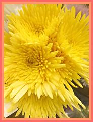 Sunshine Yellow (bigbrowneyez) Tags: artful chrysanthemums spray flickrexplosion scented lovely gorgeous textures design pattern luscious bright brilliant pretty beautiful bello bellissio fiori flowers nature natura