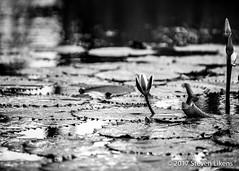 The Watering Hole (Steve Likens) Tags: cayo santaelena wateringhole pond aguada lillypad belize blackandwhite
