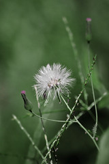 Simple and Fragile (awktography) Tags: fragile flower flora lush green beauty smooth soft garden park forest jungle tropical spring summer dandelion thin plant plants nature natural asia malaysia bokeh background texture