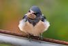 DSC_7242 (f_foschi.) Tags: rondine colori colors natura francesco foschi nikon d500 bird birds swallow