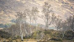 Birch (gerainte1) Tags: birch trees colour scotland