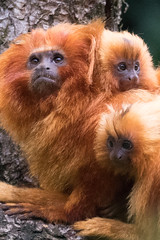 DSC00638 (sylviagreve) Tags: 2017 apenheul goldenliontamarin apeldoorn gelderland netherlands nl