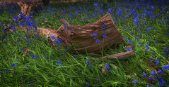 Fallen... (Lee~Harris) Tags: nature bluebells flowers wildflowers green blue foliage pretty growth may spring colourful contrast light shade
