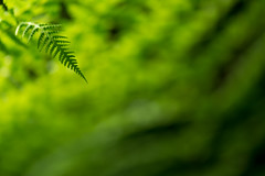 Green in green (henrik_thiele) Tags: green morninglight fern minimalism dof bokeh