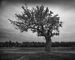 applewood (Christian Collins) Tags: canoneos5dmarkiv apple tree appletree fruit gnarled old wood knothole sunset bw blackandwhite lone lonetree midmichigan midland michigan mi farm