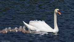 H5186111_DxO-10 (mortenekstrøm) Tags: swan olor cygnus mute europe water bird white nature baby swimming animal chicks young cute family wild wildlife chick waterfowl cygnet close spring hatchlings life adorable fluffy danish denmark