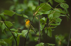 Blackburnian Warbler (nikunj.m.patel) Tags: warbler blackburnian spring wildlife nature photography avian migration forest birds bird
