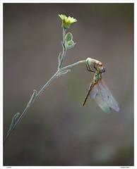 Equilibrista de alas de Cristal. (jokin1960) Tags: