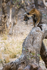 Ranthambhore Tiger cub (Adam Masterton) Tags: india rajasthan ranthnambhore tiger reserve wildlife wildlifephotography wildlifeaddict wild nature naturephotography naturelovers naturelust cat stripes trees stalking