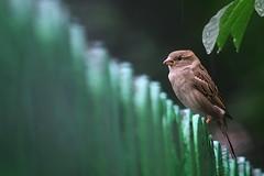 Sırılsıklam oldum yahu ! (halukderinöz) Tags: serçe sparrow yağmur rain çit fence yeşil green animal hayvan bird kuş doğa nature temeşvar timisoara romanya romania canoneos40d eos40d hd