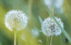 Dandelions (Wouter de Bruijn) Tags: fujifilm xt1 fujinonxf90mmf2rlmwr flower flowers dandelion dandelions nature flora bokeh depthoffield grass plant outdoor veere walcheren zeeland nederland netherlands holland dutch