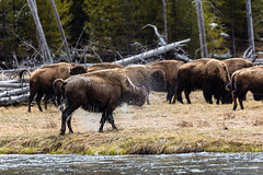 Bison shakes off water after crossing the Madison River (YellowstoneNPS) Tags: madisonriver yellowstone bison landscape mammals spring