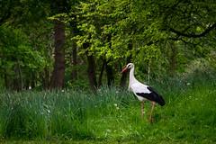Storch im Grünen (REAL PLUS) Tags: mannheim fujifilm xt10 1855mm natur nature wiese grün park wildlife vogel storch farbenfroh deutschland tier