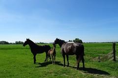 20170528 19 Den Ham - Piloersemaborg (Sjaak Kempe) Tags: 2017 lente spring sjaak kempe sony dschx60v nederland netherlands niederlande provincie groningen den ham piloersemaborg paard paarden veulen horses horse foal