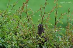 Verstopt/Hidden (roelivtil) Tags: jongespreeuw youngstarling bigworld justoutofthenest net uit het nest jong bird nature garden thenetherlands outdoor