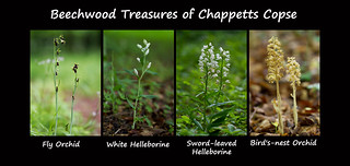 Woodland rarities of Chappetts Copse {Explored 28.05.17}