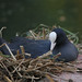 They nest 4 (coot)