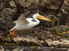 AWP_1017_05-19-17_MN_resized (profman_wildlife_photos) Tags: americanwhitepelican birds canon canon100400mmii canon100400mmlf4556ii canonequipment lenses minnesota nature northernwoods pelican wildlife