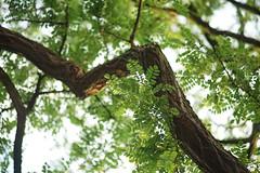 Robinia pseudoacacia (Amselchen) Tags: plants light bokeh blur dof depthoffield sony alpha7 samyang 85mmf14 season earlysummer