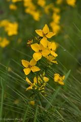 Yellow Bog Flower, ID? (stephaniepluscht) Tags: alabama 2017 graham creek nature preserve foley wildflowers wildflower bog yellow flower