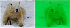 make our planet great again (BrigitteE1) Tags: makeourplanetgreatagain eisbär polarbear ursusmaritimus oursblanc ijsbeer jegesmedve nanoq hartzpolar бяламечка 北極熊 ᐧᐋᐸᔅᒄ isbjørn jääkaru jääkarhu πολικήαρκούδα ᓇᓄᖅ ísbjörn orsopolare シロクマ 白熊 óspolar 북극곰 polarnimedvjed polārlācis baltasislokys bercribe äisbier niedźwiedźpolarny ursopolar ursalv urspolar белыймедведь isbjörn белимедвед medveďbiely belimedved běłymjadwjeź osopolar medvědlední kutupayısı білийведмідь