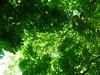 Le dais du grand seigneur (Ali Devine) Tags: arbres parc ciel toit feuilles branches platane marronnier lumière protégé