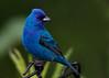 _53F8155 Indigo Bunting (~ Michaela Sagatova ~) Tags: birdphotography canonphotography indigobunting michaelasagatova