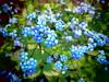 Jack Frost (LANE5530) Tags: bedal spring flowers jackfrost