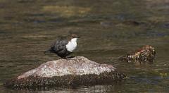 Dipper - the river bird (Ann and Chris) Tags: dipper river birdwatching birdphotography beak bird wings wildlife wild water waterbird avian feathers fossekall norway nature