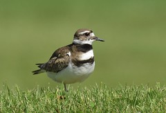 Killdeer (hd.niel) Tags: birds nature wildlife oneleg killdeer