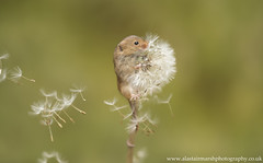 Hold On! (Alastair Marsh Photography) Tags: harvestmouse harvest harvestmice mouse mice mammal mammals smallmammal smallmammals animal animals animalsintheirlandscape dandelion clock dandelionclock wind gust spring springtime wildlife britishwildlife britishanimals britishanimal britishmammals britishmammal fur yorkshire yorkshirewildlife nature