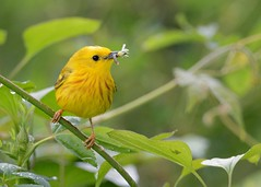 Yellow Warbler (JDA-Wildlife) Tags: birds nikon nikond7100 tamronsp150600mmf563divc jdawildlife johnny portrait closeup eyecontact warblers warbleryellow yellowwarbler whatbirdbestofday wow incredible brilliant