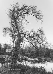 The Old, Crooked Tree (Roy Manchester) Tags: catskill newyork unitedstates us availablelight blackwhite canon canonllenses eos ef 1740l llenses landscape light longexposure hoyacpl manfrotto monochrome water woods wideangle moody trees tree gps geotag grass 5dsr hoyand8