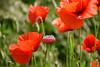 Subtil et éphémère (Croc'odile67) Tags: nikon d3300 sigma contemporary 18200dcoshsmc paysage landscape fleurs flowers coquelicots poppies pavots nature