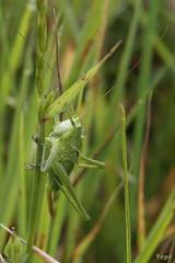 j'ai une goutte sur la tête ! (vepephotos) Tags: macrophotography macro sauterelle goutte grasshopper canon eos7dmark2 60mm orveau civaux vienne poitou france