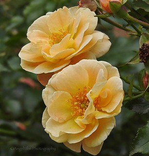 Gorgeous Summer Roses