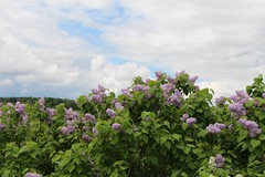Roadside Lilacs (hbailliebrown) Tags: lilacs lilac purple farm farming roadside dps country countryside ontario canada spring scent