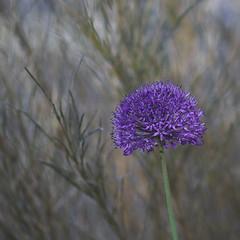 Purple Head (Budoka Photography) Tags: flora 7dwf yashica200f4 bokeh outdoor flower plant manual handheld sonyalphailce7rm2