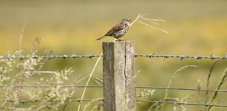 Song for summer- Meadow Pipit