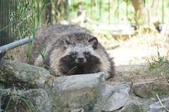 Raccoon Dog (Tanuki) at Toyohashi Zoo 2017-05-20 (kuromimi64) Tags: toyohashizoo 豊橋総合動植物公園 zoo 動物園 愛知県 豊橋市 toyohashi aichi japan japaneseraccoondog ホンドタヌキ raccoondog tanuki タヌキ 狸