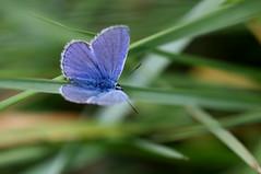argus bleu ( Polyommatus icarus ) Erdeven 170524a3 (papé alain) Tags: insectes lépidoptères papillons argusbleu polyommatusicarus erdeven morbihan bretagne france